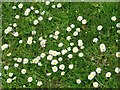 TG3204 : Common daisies (Bellis perennis) by Evelyn Simak