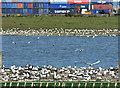 J3777 : Nesting gulls, Belfast harbour (May 2017) by Albert Bridge