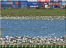 J3777 : Nesting gulls, Belfast harbour (May 2017) by Albert Bridge
