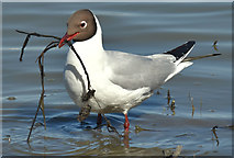 J3777 : Black-headed gull, Belfast harbour - May 2017(2) by Albert Bridge