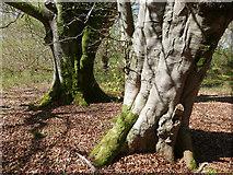 NH5857 : Bole of beech trees, Drummondreach Oak Wood by Julian Paren
