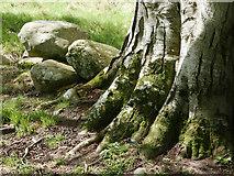 NH5757 : The base of a beech tree, Drummondreach Oak Wood by Julian Paren
