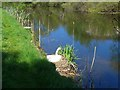 NS4871 : Swan on its nest by the Forth & Clyde Canal by Gordon Brown