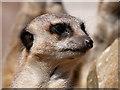SD7012 : Meerkat at Smithills Open Farm by David Dixon