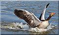J3675 : Greylag goose, Victoria Park, Belfast (May 2017) by Albert Bridge