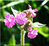 TG3203 : Red campion (Silene dioica) by Evelyn Simak