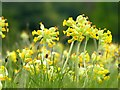 SK3622 : Cowslips at Calke Abbey by Graham Hogg
