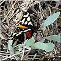 TQ9694 : Cream-spot Tiger moth (Arctia villica) by John Myers
