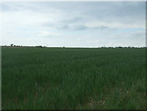 TG0700 : Crop field, Morley St. Botolph by JThomas