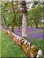 NR8297 : Bluebells in Temple Wood by Gordon Brown