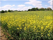 TG3204 : Oilseed rape crop field south of Rockland St Mary by Evelyn Simak