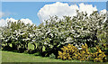 J5966 : Whins and blossom, Ballybryan near Greyabbey - May 2017(2) by Albert Bridge