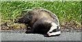 J5870 : Dead badger, Cardy near Greyabbey (May 2017) by Albert Bridge