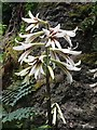 SH5573 : A  giant Himalayan lily (Cardiocrinum giganteum) by Richard Hoare