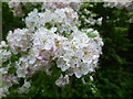 SK9519 : More Hawthorn Blossom by Bob Harvey
