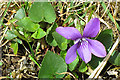 NG5846 : Dog Violet (Viola riviniana) by Anne Burgess