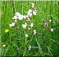 TG3004 : Red and White Campion by Evelyn Simak
