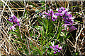 NG5162 : Milkwort (Polygala sp) by Anne Burgess