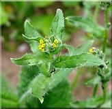 TG3204 : Common Fiddleneck  (Amsinckia micrantha) by Evelyn Simak