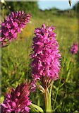 SX9066 : Orchids, Nightingale Park by Derek Harper