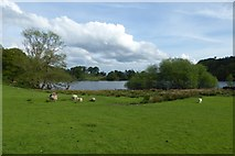 NY3404 : Sheep beside Loughrigg Tarn by DS Pugh