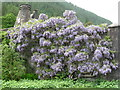 NS1485 : Wisteria at Benmore by M J Richardson