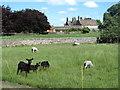 NZ1118 : Sheep on Cleatlam Green by Gordon Hatton