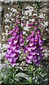 NO6649 : Foxglove (Digitalis purpurea) by Anne Burgess