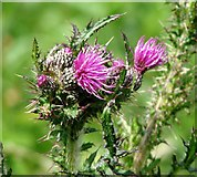 TG3204 : Flowering Marsh thistle (Cirsium palustris) by Evelyn Simak