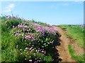SX6444 : Banks of pink thrift line the pathways around  Burgh Island by Derek Voller