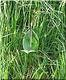 TG3204 : Common Twayblade  (Listera ovata) by Evelyn Simak