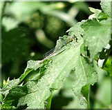 TG3204 : Azure damselfly (Coenagrion puella) - female by Evelyn Simak