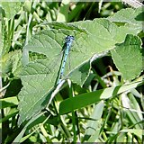 TG3204 : Azure damselfly (Coenagrion puella) -  male by Evelyn Simak