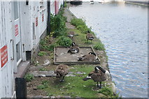 TQ2681 : View of geese resting on a small bank next to St. Mary's Hospital from the Paddington Basin by Robert Lamb