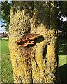 SP2965 : Bracket fungus on an ash tree, St Nicholas Park, Warwick by Robin Stott