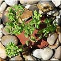 TF7412 : Petty spurge (Euphorbia peplus) by Evelyn Simak