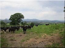 X0295 : Calves near Curraheen South by Jonathan Thacker
