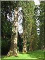NS1485 : Redwoods at Benmore Botanic Garden by M J Richardson