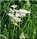 TG3204 : Meadowsweet (Filipendula ulmaria) - flower by Evelyn Simak
