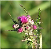 TG3204 : Marsh thistle  (Cirsium palustris) by Evelyn Simak