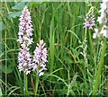 TG3204 : A group of Common Spotted orchids  (Dactylorhiza fuchsii) by Evelyn Simak