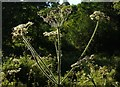 SX9063 : Hogweed, Cockington Meadows by Derek Harper