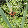 TG3306 : Small Tortoiseshell Butterfly (Aglais urticae) by Evelyn Simak