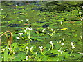 NR6447 : Emergent flowers on the pond at Achamore Gardens by M J Richardson