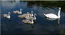 SK5803 : Family of mute swans on the Grand Union Canal by Mat Fascione