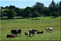 ST0007 : Mid Devon : Grassy Field & Cattle by Lewis Clarke