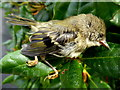 H4672 : Dead juvenile goldcrest, Omagh by Kenneth  Allen