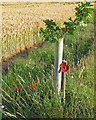 TM4594 : Poppies and Oak Sapling, The Walks, Aldeby by Roger Jones