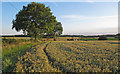 TM4294 : Trees and Wheat Field near Fuller's Farm, Toft Monks by Roger Jones