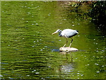 H4772 : Heron, Camowen River by Kenneth  Allen